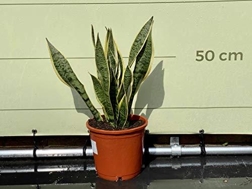Bogenhanf – Sansevieria trifasciata Laurentii – Altura aprox. 80 cm – maceta de 27 cm de diámetro – planta interior que limpia el aire.