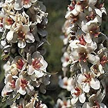 Verbascum chaixii Album Wedding Candles 2,000 Seeds Need More? Ask