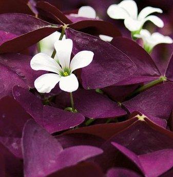 (2) Burgundy, Purple Triangularis Oxalis Shamrock Rhizome/Root/Bulbs