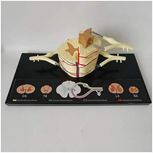HYLH Modelo Educativo Nervio espinal Humano Modelo anatómico Aumento 5X Nervios espinales Modelo anatómico para exhibición de Estudio Modelo de enseñanza médica, Modelos médicos