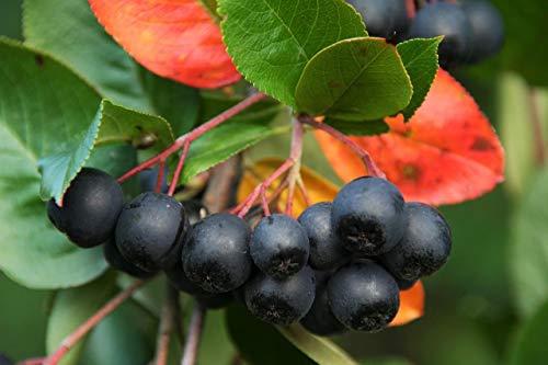 ScoutSeed Chokeberry 20 Samen, Aronia - Früchte/Antioxidans