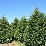 Norway Spruce Tree Seeds (Picea abies) 40+Seeds