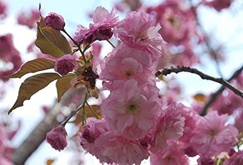 15+ Japanese Cherry Blossom Tr.ee S.eeds (Prunus Serrulata) Sãkụra Oriẹntal East Asian Cherry (Bọnsai-Sụitable)