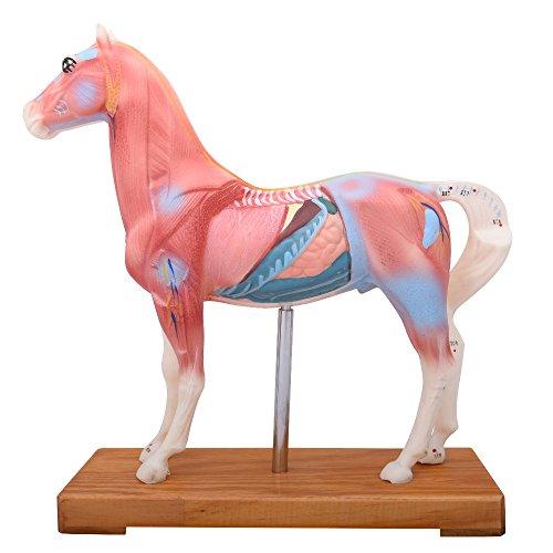 66fit Pferd-Akupunkturmodell – Druckpunkte bei Tieren für Tierärzte