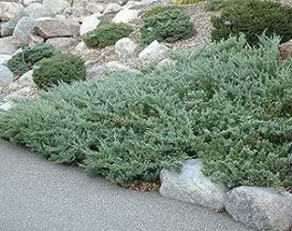 Sea Spray Juniper - 50 Live Plants - Juniperus Chinensis - Drought Tolerant Cold Hardy Evergreen Ground Cover
