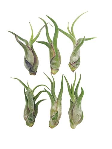 Tillandsia caput medusae   Luftpflanze   Airplant   Tillandsien   Pflegeleichte Zimmerpflanze   Dekorativ   Echte lebende Pflanze (6, Grün)