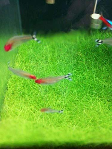 Eleocharis yokoscensis Pflanzen Samen 10g ca. 6000 Stück Bio-Wasserpflanzen Aquarium Gras Lebende Doppelblätter Aquarium Tropische Dekorationen Hydroponische