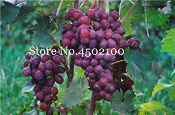 Shopvise 50 Pcs Divers raisin, fruits avancée Sweet Seeds Croissance Doux Naturel Raisin Flores Kyoho Raisin Gardening Fruit Graines: 15