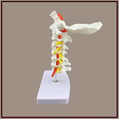 Menschliches anatomisches Modell Halswirbel Modell mit Nerven Arterien 7 Halswirbelsäule Bandscheiben und Hinterhauptsbein for den Schulunterricht Ausrüstung Leben Größe Menschliches Torso-Modell