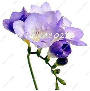 GEOPONICS Semillas: 100 Pcs Freesia Bonsai Plant, No fresia Bulbos flores de las orquídeas de colores Plantación fragante flor de Bonsai magnífico jardín de DIY: t
