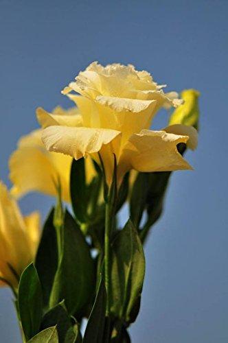 200pcs rares graines blanches Eustoma vivaces plantes à fleurs Balcon fleurs en pot Graines Lisianthus violet pour pot de fleur planteur 7
