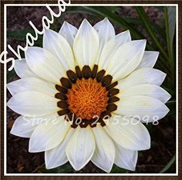 CUSHY Rare 21 varietà di colori Medaglia Africa Gazania Specie in vaso Freshs Semi 100 pc/sacchetto 4