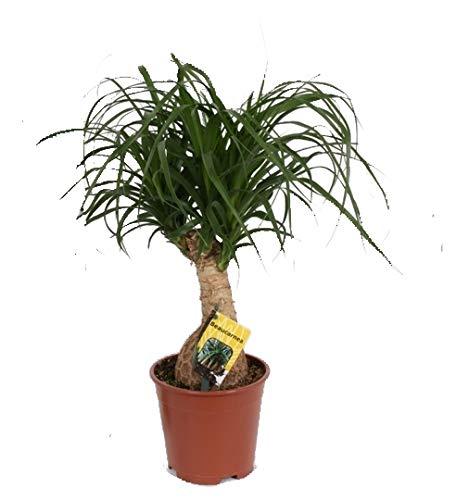 Elefantenfuß, (Beaucarnea recurvata), pflegeleichte Zimmerpflanze (12cm Topf, ca. 40cm hoch)