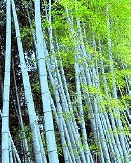Cicitar Garden - China 20pcs Rare Moso Bamboo Giant Bamboo Evergreen Tree Seed Exotic, Calcutta Bamboo Grass Hardy Perennial