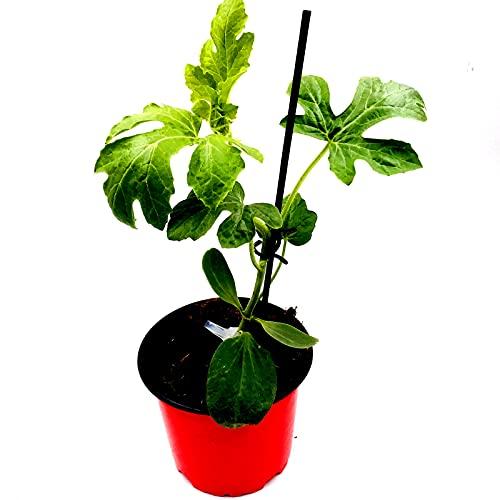 veredelte Balkon Zucker Melone Citrullus lanatus 2er Set