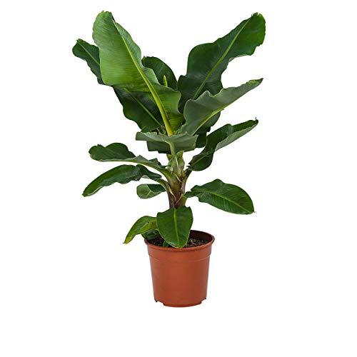 Indoor-Helden Musa \'Dwarf Cavendish\' - Bananenpflanze, Topf-Ø: 27 cm Höhe 80 cm Exotischer Bananenbaum Zimmerpflanze