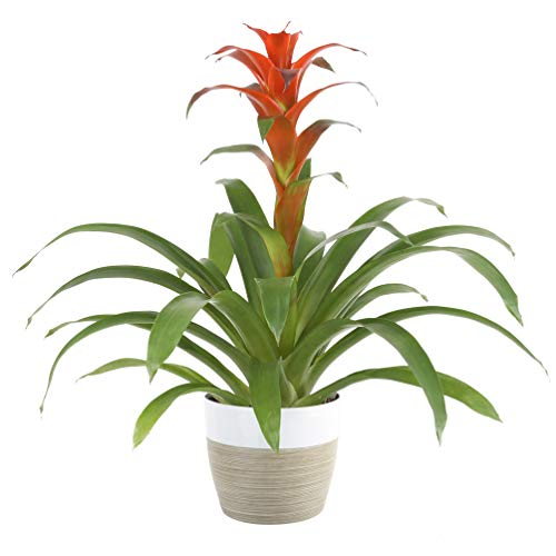 Costa Farms Live Indoor Blooming Bromeliad in White-Natural Decor...