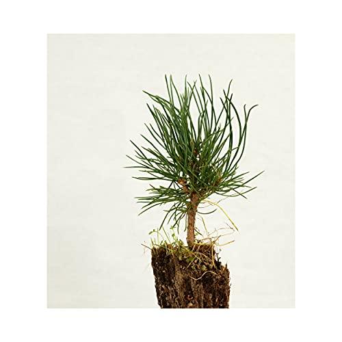 Frische, Junge, lebende Zirbe (Pinus Cembra/Zirbelkiefer) | ca. 15cm hoch | Nadelholz | echte Pflanze zum Einsetzen
