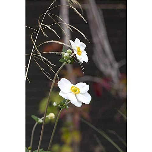 Anemone x japonica 'Honorine Jobert' -...