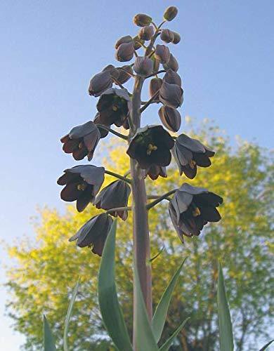 Bio-Saatgut Nicht nur Pflanzen: Fritillaria PERSICA, Blooms! Riesig FäHRE