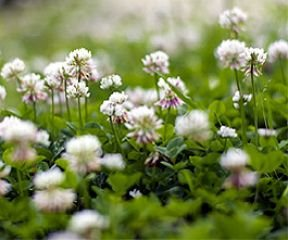 Weißklee Bodenkur von bobby-seeds, staudige Gründüngung/Bodendecker 500 Gramm