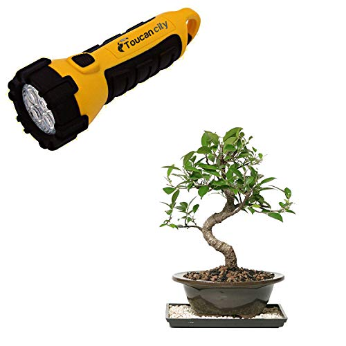 Toucan City LED Flashlight and Brussel's Bonsai Golden Gate Ficus Bonsai CT-2005GGF