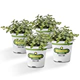Bonnie Plants 4P5081 Peppermint Live Edible Aromatic Herb Plant - 4...