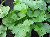 Potseed Las Semillas de germinación: 500 + Semillas: Semilla de Cilantro: Semillas de Cilantro Fresco Santo Semilla envío
