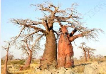 Frais Baobab Adansonia digitata (Rare Bonsaï Exotique Seed bouteille de floraison) 10 graines