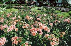 'Aprikola' -R-, Beetrose, ADR-Rose im 4...