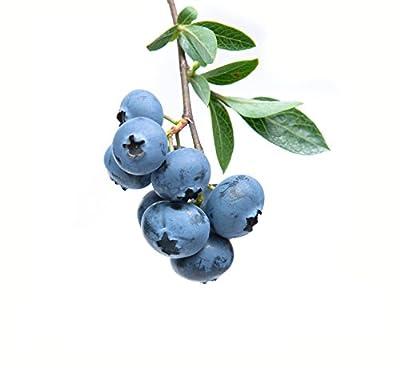 Blueberry Bush Seeds - Bonsai Edible Fruit - Pack of 200 Seeds