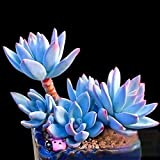 100 plantas suculentas para el hogar, bonsái, fácil de cultivar, maceta ornamental, Echeveria