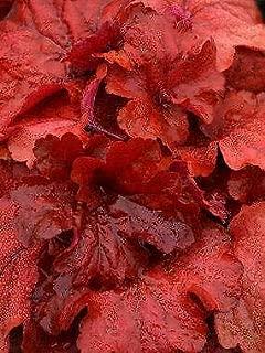 Fire Alarm Coral Bells, Heuchera x 'Fire Alarm', One Gallon Container, Plant