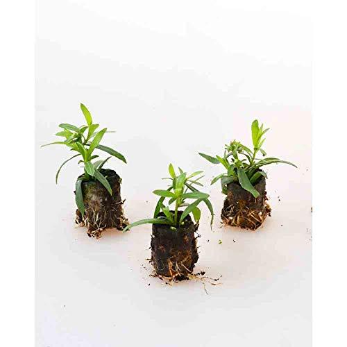 Kräuterpflanzen - Estragon/Pfefferkorn/Artemisia dracunculus - 3 Pflanzen im Wurzelballen