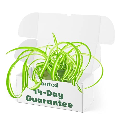 Spider Plant 'Bonnie' - Chlorophytum comosum 'Bonnie' | Live, Easy to Grow, and Low...