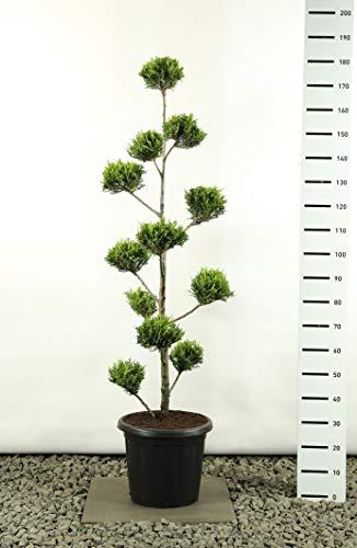 Zypresse Formschnitt Formgehölz Bonsai PonPon - Cupressocyparis leylandii sp. Castlewellan Gold Multibol - Gesamthöhe 150-170 cm - 25 Liter