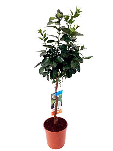 Planta de fruta de Botanicly – Árbol de Lima – Altura: 85 cm – Citrus Latifolia