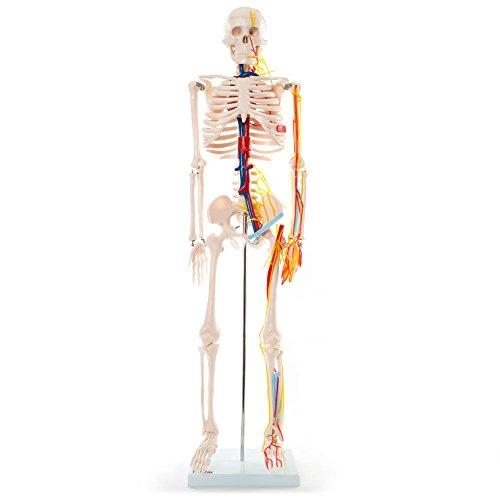 66FIT - Modelo anatómico de esqueleto con nervios y vasos sanguíneos (85 cm)