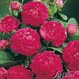 Historische Strauchrose 'Rose de Resht®' - 1 Pflanze
