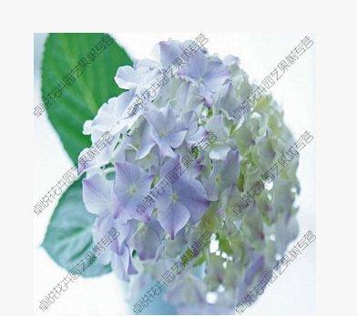 SVI Deux Couleurs Blanc Rouge géranium Univalve semences graines apériodique Fleur Pelargonium peltatum Graines pour Chambres Indoor 10 graines/Bag Mostra in Picture Cielo blu