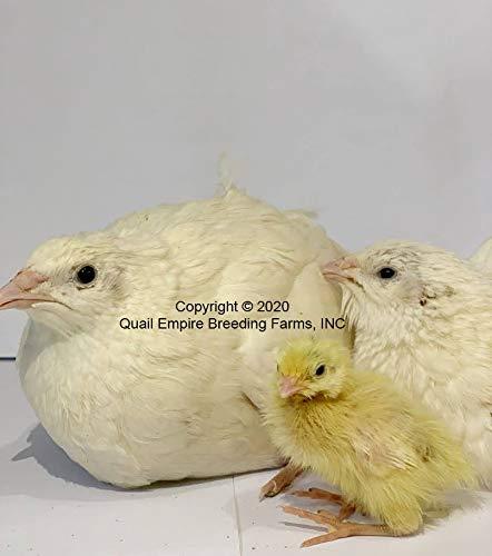 Quail Empire Breeding Farms 50+ Jumbo Whites Hatching Eggs