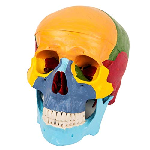 ALBB Human Skull Anatomy Model - Colored Skull Human Anatomy 3D Models - 3- Parts Anatomy Correct with Skull Cap with External and Interior Structures Medical Model