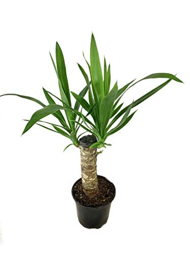Yucca Cane Plant - Live Plant in a 6 Inch Pot - Yucca Guatemalensis - Beautiful Easy Care Air Purifying Indoor Houseplant