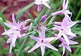 40pcs / bag semillas importadas Tulbaghia violacea vegetales comestibles ajo Bonsai en maceta de plantas ornamentales de flores para la decoración del jardín