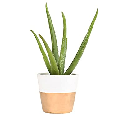 Costa Farms, Premium Live Indoor Aloe Plant, Shelf Plant, Two-Toned White & Gold Modern Ceramic Decorator Pot, Shipped Fresh from Our Farm, Excellent Gift