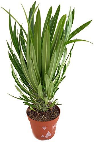Fangblatt - Pachypodium lamerei - die bekannte Madagaskarpalme - pflegeleichte Sukkulente/Zimmerpflanze - palmenartige Kaktee