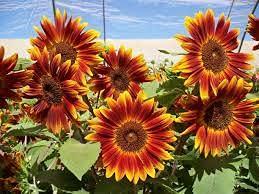 zumari 30 piezas de semillas de flores de amaranto de globo