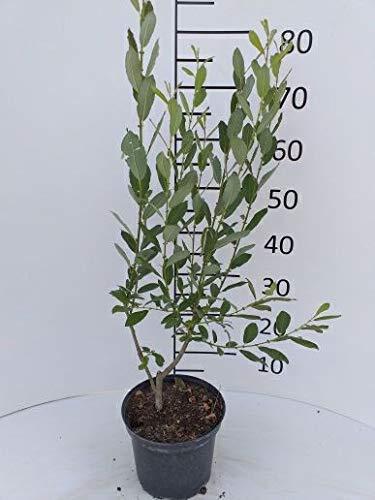 Späth Salweide LH 60-100 cm im 3 Liter Topf Zierstrauch winterhart Gartenpflanze winterblühend