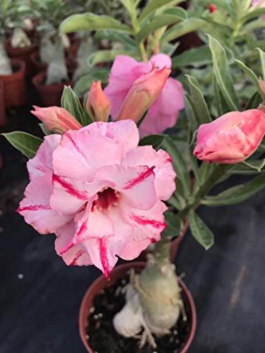 Rosa del desierto planta,El balcón es precioso e impresiona