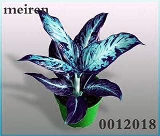 Kasuki Rare Color Aglaonema Bonsai 100 Pcs Aglaonema Beautiful Mosaic Perennial Evergreen Trees Flower Indoor Or Ourdoor Plant Pot - (Color: 13)